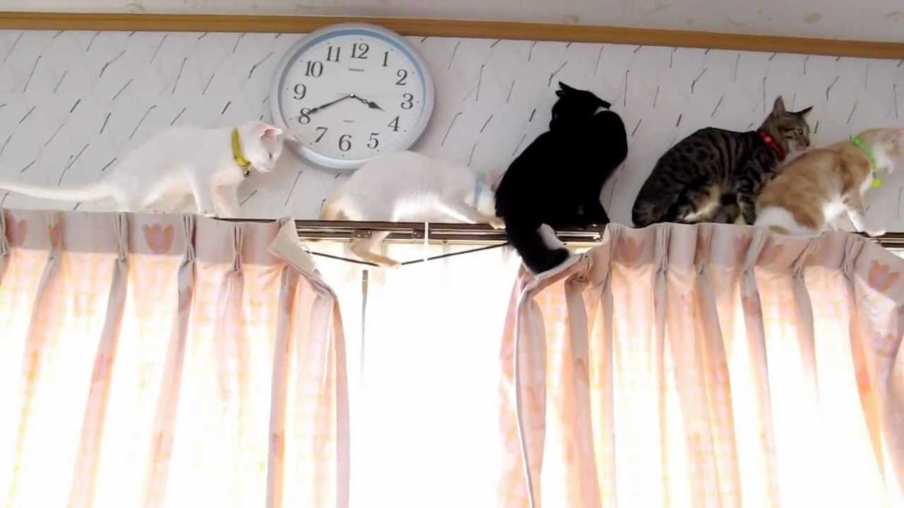 カーテンレールで猫渋滞発生中(*´Д`)萌え死注意