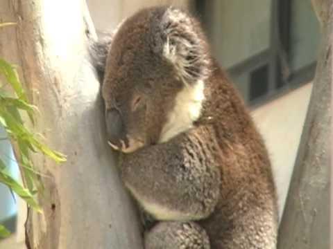 眠れないコアラ